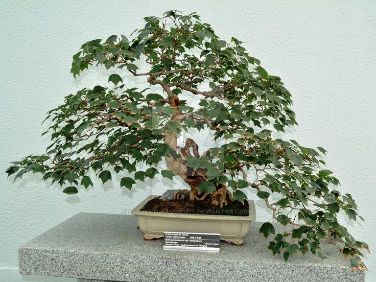 Taiwan Trident Maple Bonsai by All-Natural-Spirit.deviantart.com on @DeviantArt
