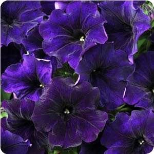 Petunia 'Midnight Blue'  A deep velvety purple often shown paired with red or hot orange.