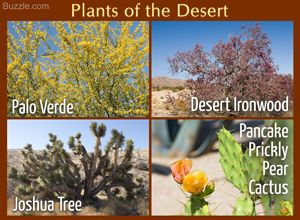 Plants of the desert Palo verde Desert ironwood Joshua tree Pancake prickly pear…