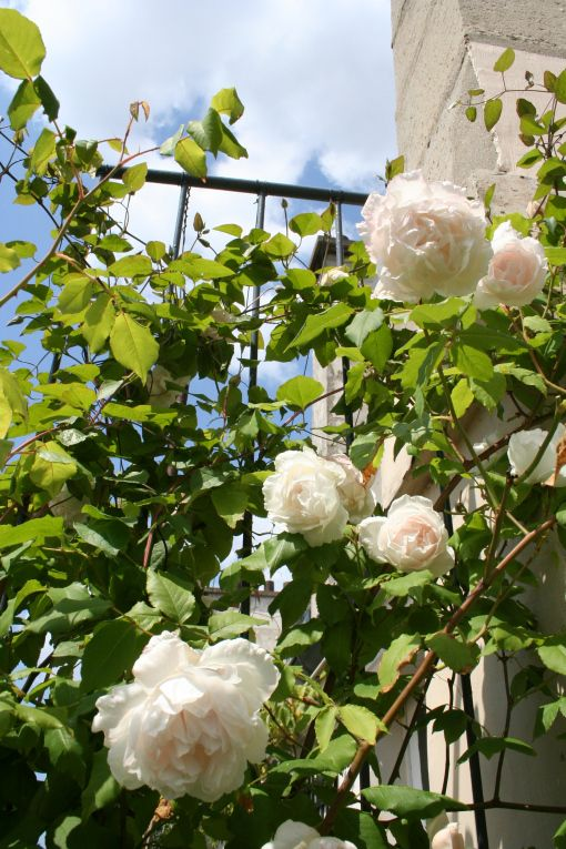 mme alfred carriere #roses