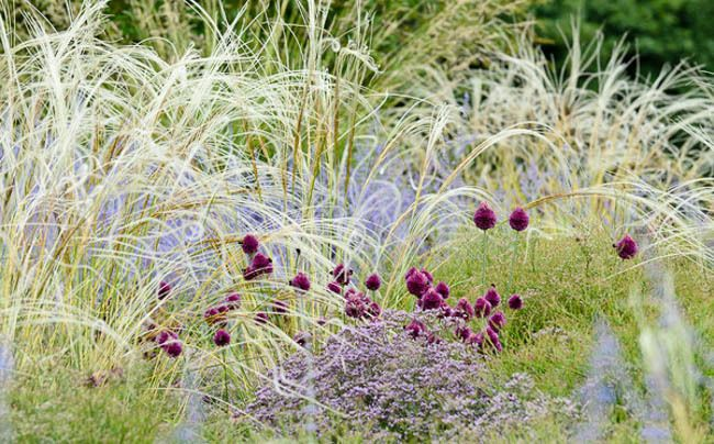 Stipa Barbata, Silver Feather Grass, Ornamental Grass, Feather Grass, Stipa…