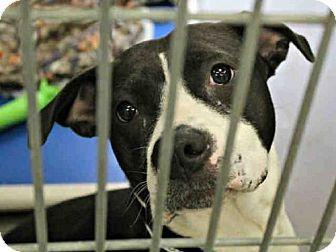 Mesa, AZ - American Pit Bull Terrier/Boxer Mix. Meet A3871610, a dog for adoption. http://www.adoptapet.com/pet/17444597-mesa-arizona-american-pit-bull-terrier-mix