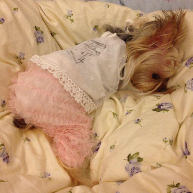 Pretty and cute Yorkie just sharing.....awww....Baby Puppuru:)