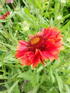 Gaillardia x grandiflora Tokajer