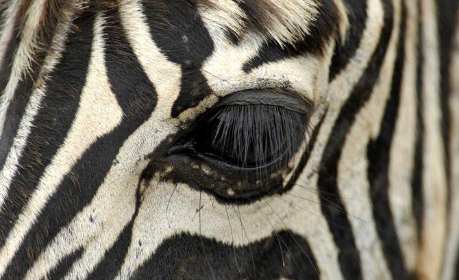 Zelfie: Zebra Selfie or Photobomb? Guy In Safari Park Gets Spectacular Images .. Not the zebra above... http://www.inquisitr.com/2054209/zelfie-zebra-selfie-or-photobomb-guy-in-safari-park-gets-spectacular-images/