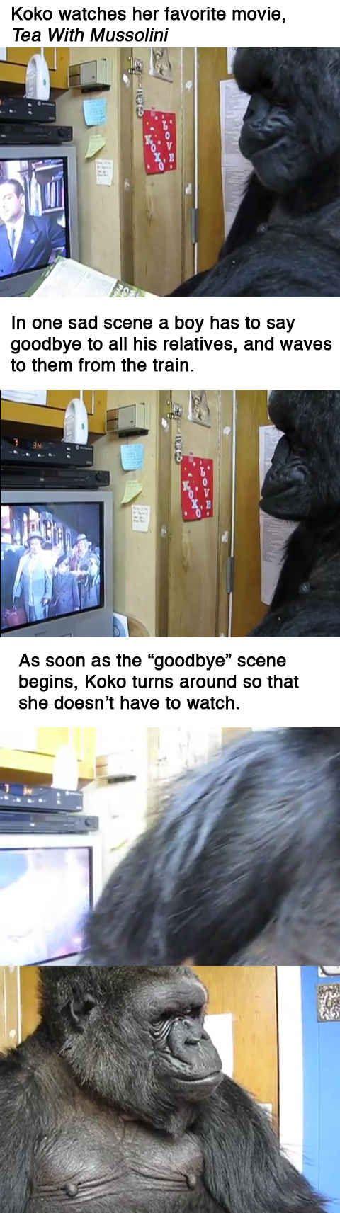 Koko the gorilla responds to a sad moment in her favorite film.