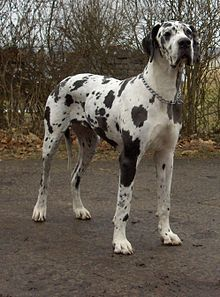 """The Great Dane, also known as German Mastiff or Danish Hound, is a breed of domestic dog (Canis lupus familiaris) known for its giant size. The Great Dane is one of the world's tallest dog breeds; the current world record holder, measuring 112 cm (44 in) from paw to shoulder is """"Zeus"""". Great Danes were originally bred to hunt deer and wild boar."""