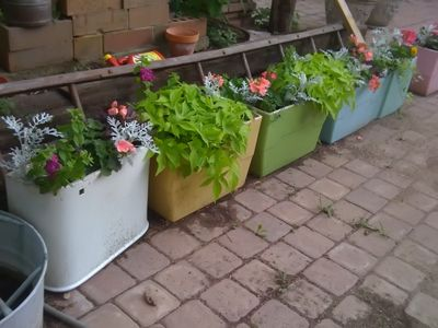 """Toilet tank planter.  Now I DON""""T like planting an actual toilet, just the tank.  Once the plants start filling in it looks nice.  Go figure!"""