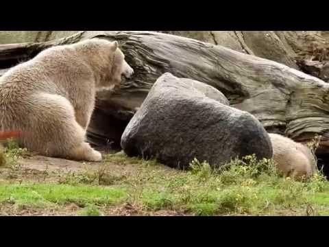 2015 10 oktober ijsberen Blijdorp - YouTube