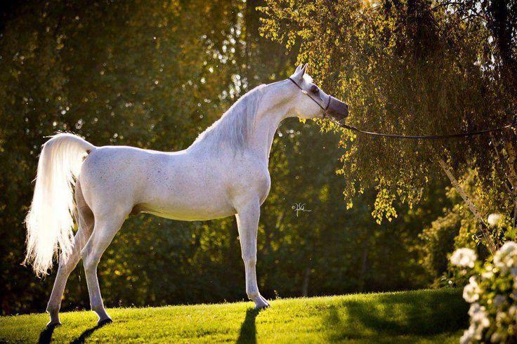 12. Aprende a identificar un caballo de la raza Arabe