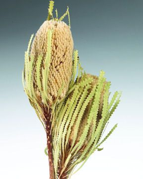 Dried Banksia Hookerana Flowers with natural leaves  - More Great Ideas from DriedDecor.com