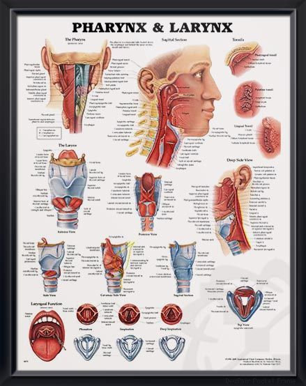Pharynx and Larynx anatomy poster ENT poster shows posterior view of the pharynx and shows sagittal section, deep side view and tonsils. Otolaryngology for doctors and nurses.