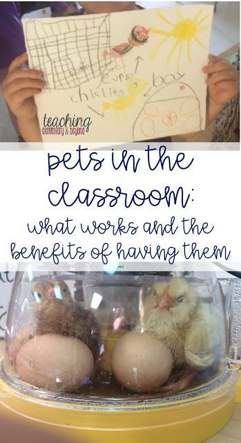 There are many benefits for having pets in the classroom. Are you looking for what kind of pets are classroom friendly? Classroom friendly pets are not hard to find! Pets are a fun adventure, you can easily link to many curricular expectations in science, math and language and is not as difficult as you might expect!