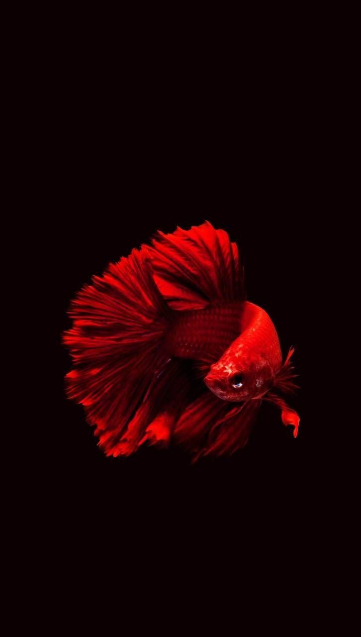 Red Betta Fish Google Search Betta Fish Fish Wallpaper Siamese Fighting Fish
