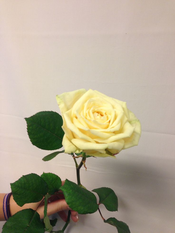 Rosa - Artemis Creme - Rose - Kremfarget