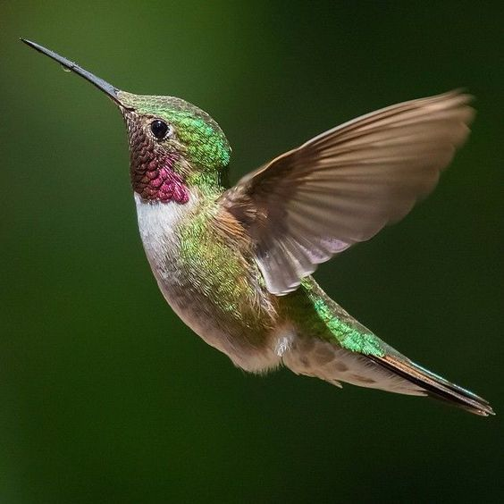 A Broad-tailed Hummingbird almost frozen at 1/3200 of a second. Even at those…