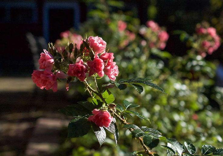 Neilikkaruusu, Rosa Grootendorst