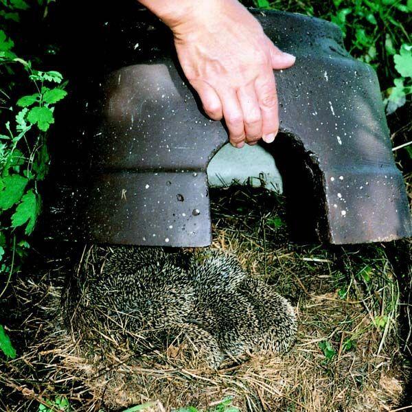 egel schuilplaatsen maken onder kot