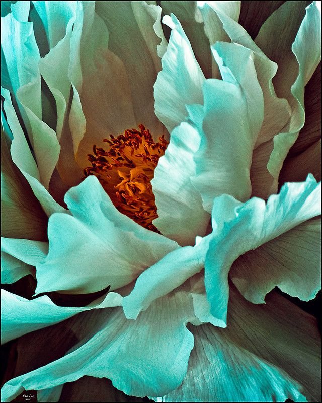 """Peony"" by Chris Lord -There are no known blue peonies, though there are mythical reports that the emperor of China hid a special blue variety in his private garden in the late 1800s."