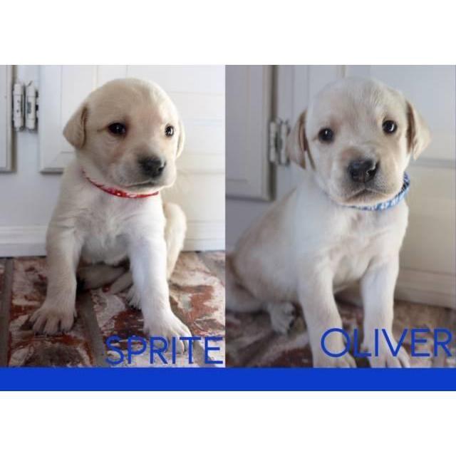 Labrador Retriever Seminole Akc Registered Labrador Retriever Pedigree 4 Blonde Females 1 Black Female And 4 Blonde Labrador Retriever Labrador Lab Puppies