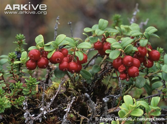 Lingonberry videos, photos and facts - Vaccinium vitis-idaea | ARKive