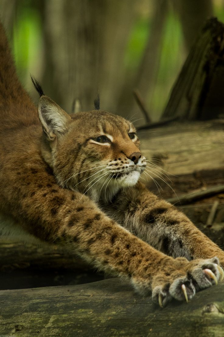 Siberian lynx by Cedric Buisson on 500px                                                                                                                                                      More