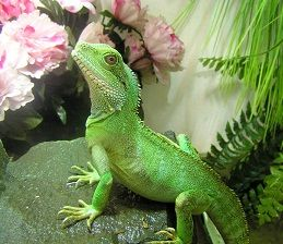 Chinese Water Dragon----ROXI