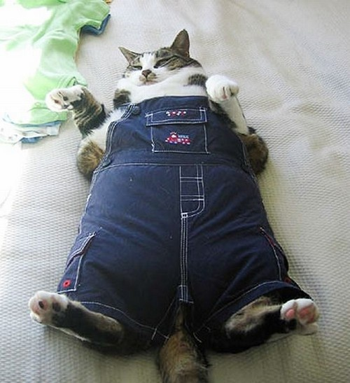 funny fat cats - Google Search
