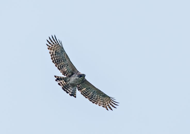 Mountain hawk Eagle, Nisaetus nipalensis Soaring in sky with copy space