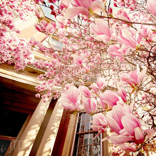 tulip magnoliasBeautiful Flower, Pink Flower, Cherries Blossoms, Tulip, Front Yards, Windows, Spring Bloom, Magnolias Trees, Full Bloom