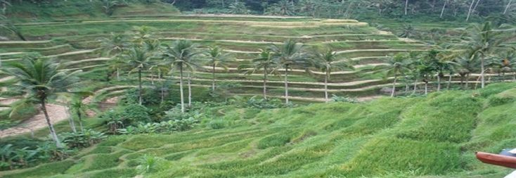 Tegalalang Rice Terrace located on the north side of Ubud around 20 minutes drive. This area is famous tourist attraction for beautiful rice terraces, many tourists who travel to and from Kintamani stopped at this place to witness the beauty of the verdant terraced rice field scenery