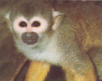 Los monos acostumbran a tener la cara totalmente desprovista de pelos, si bien es frecuente que esté enmarcada por una barba más o menos espesa. un mono ardilla, típico del Nuevo Mundo.