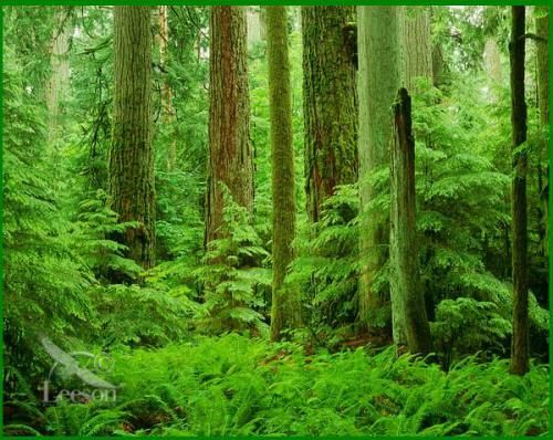 old-growth-forest.jpg (500×398)