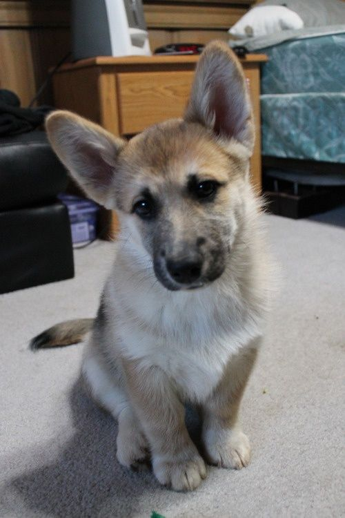 This corgi mix shows a lot of both breeds, and results in one of the cutest corgi mixes out there. Being a mix of a german shepherd and corgi, you can see the german shepherd ears and coloring. Again, the corgi body size is shown here and this guy looks like a tiny regular german shepherd. Most people cut the tail off of corgis, but because there's so much german shepherd in this guy they decided to keep it on.