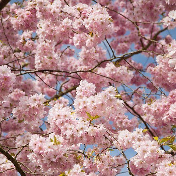 Prunus Accolade Flowering Cherry Tree Flowering Cherry Tree Fruit Trees Uk Japanese Cherry Tree