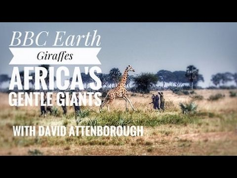 David Attenborough Planet Earth - Giraffes: Africa's Gentle Giants | BBC Documentary HD 20 - YouTube