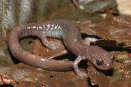 Siskiyou Mountain Salamander (Plethodon stormi)