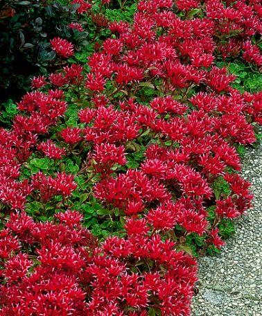 Mauerpfeffer eignet sich perfekt als schöne Randbepflanzung und kann auch im Schatten gedeihen. Der Mauerpfeffer ist pflegeleicht und fühlt sich in jedem Boden wohl.