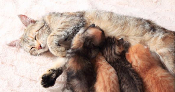 How Can I Tell If A Cat Is Producing Milk For Her Kittens Animal Lover Cats Kittens Pregnant Cat Kittens