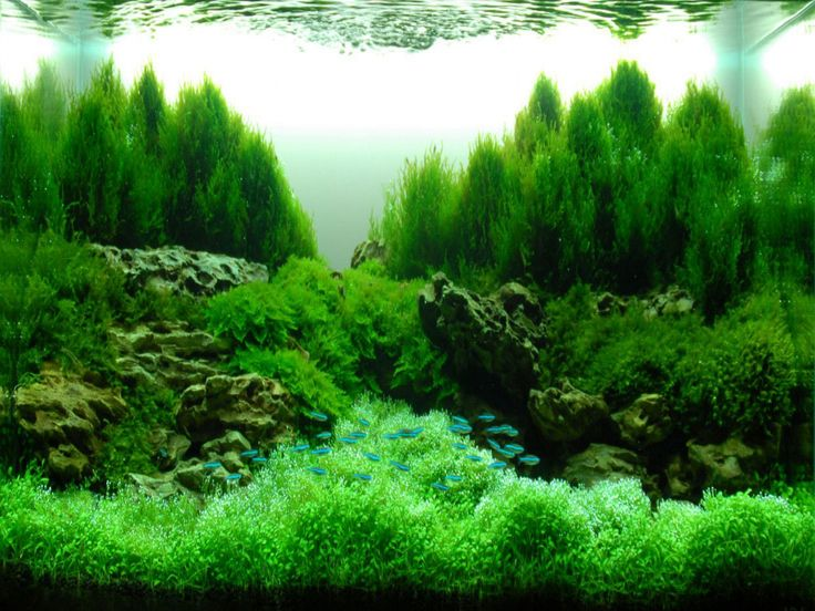 13 best images about aquascape hardscape aquarium on for Green water in fish tank