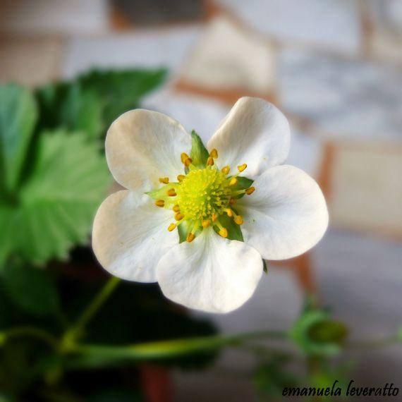 #ricettefuorifuoco Fiore di #fragola~ #strawberryflower