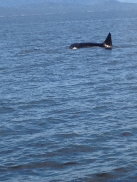 Killer Whales in front of French Creek Marina, Parksville British Columbia
