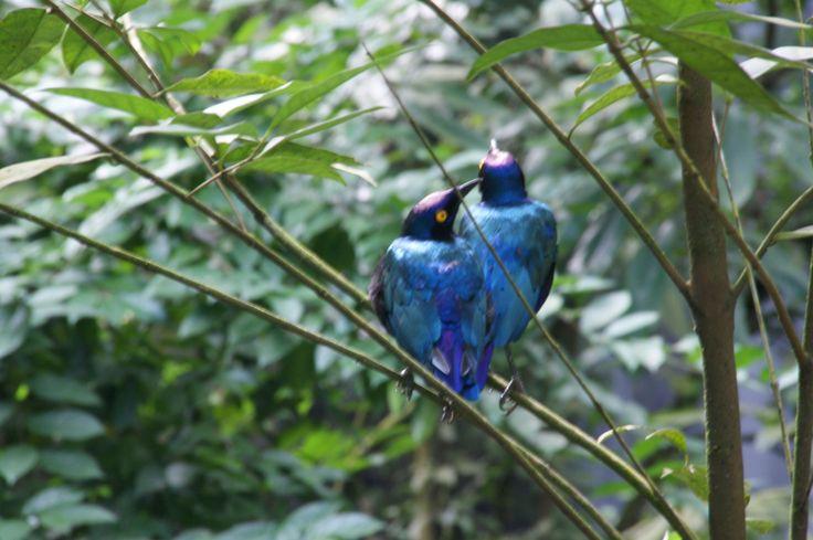Starlings at Jurong Bird Park, Singapore. October 2011
