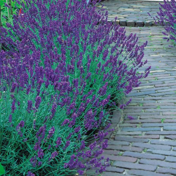Lavender Cottage: 144 Best Images About Lavender And Lemon On Pinterest