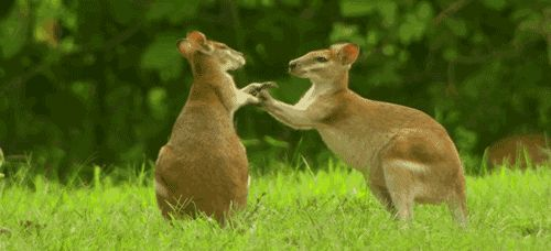38 Crazy Things You Never Knew About Kangaroos