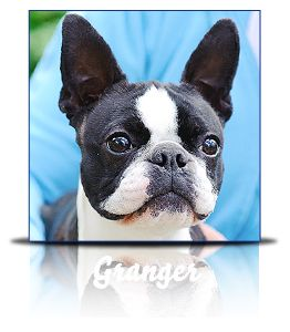 Campbell Clan Boston Terriers :: Breeder in Northern California