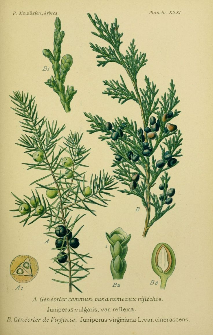 img/dessins arbres arbrisseaux/dessins arbres et arbrisseaux 0117 genevrier de virginie - juniperus virginiana cinerascens.jpg