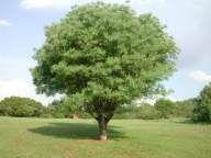 Sclerocarya  Birrea    protected       Marula       Maroela      S A no 360
