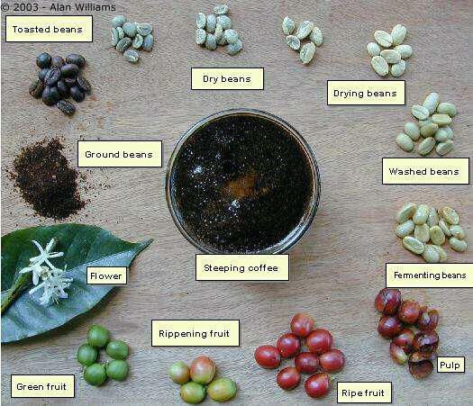 the various stages in the processing of coffee Coffee, mycotoxins and climate change  fig 2 indicates the various stages of wet and dry processed  the fate of ota during processing of coffee beans is.