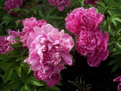 Dividing Peony Plants: Tips On How To Propagate Peonies -  If you wonder about dividing peony tubers and expect them to grow, there is an appropriate way of propagating peony plants that you should follow if you expect to be successful. Learn more here.